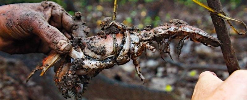 "Fischerei in Mangrovenwäldern: ""Mana"" Maulwurfskrebs in traditioneller Falle, Fiji."