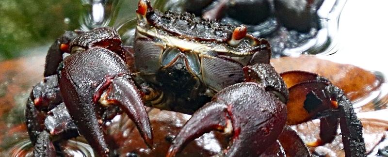 """Fischerei in Mangrovenwäldern: """"Kuka"""" Mangrovenkrabbe auf Fidschi."""
