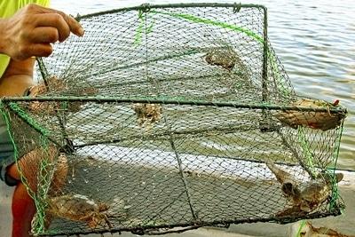 Fischerei in Mangrovenwäldern: Vier Mangrovenkrabben der Art Scylla serrata in einer Falle.