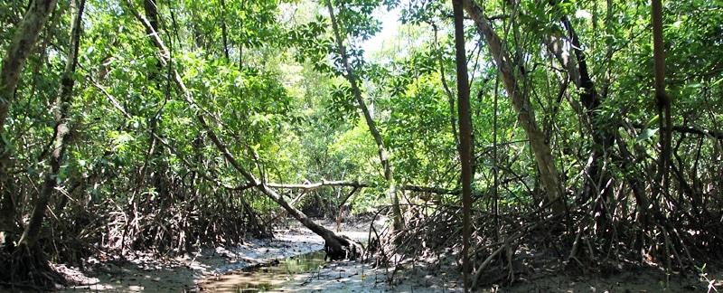 Rhizophora Mangrovenwald, Lebensarum von Mangrovenkrabben.