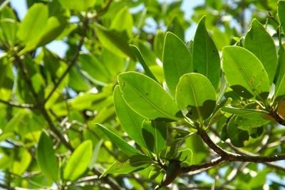Mangrovenbaum.