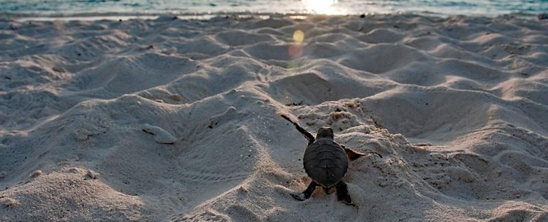 Nistling auf dem langen Weg zum Meer - Grüne Meeresschildkröte.