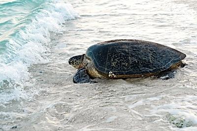 Grüne Meeresschildkröte nach der Eiablage erreicht die Brandung.