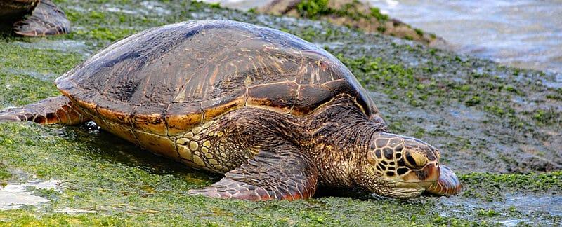 Grüne Meeresschildkröte an Land.