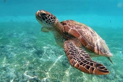 Mexiko: 300 Grüne Meeresschildkröten sterben in Red Tide