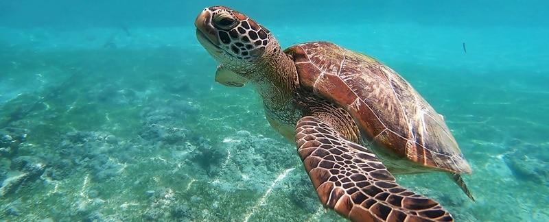 Bedrohten Meeresschildkröten helfen