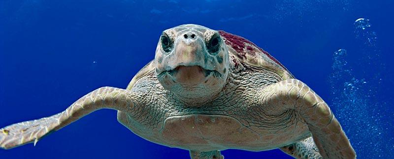 Meeresschildkröte.
