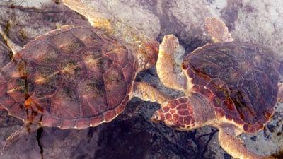 Zwei junge Unechte Karettschildkröten.
