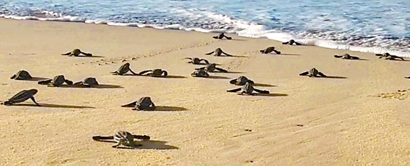 Kleine Lederschildkröten krabbeln über denm Strand auf dem Weg ins Meer.