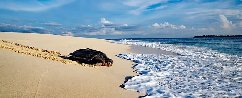 Lederschildkröte kriecht nach der Eiablage über den Sandstrand zurük ins Meer.