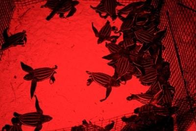Lederschildkröten-Babys in der Aufzuchtstation bei Nacht.