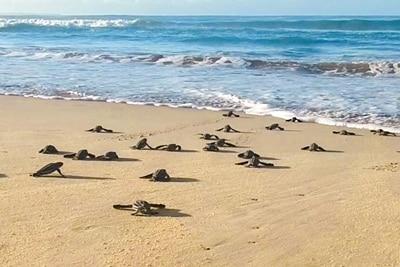 Geschlüpfte Lederschildkröten-Babys laufen über den Sandstrand zum Meer.