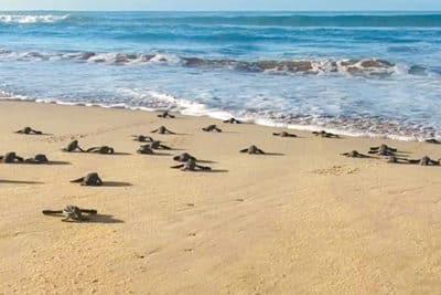 Lederschildkröten-Babys laufen über den Sandstrand zum Meer.