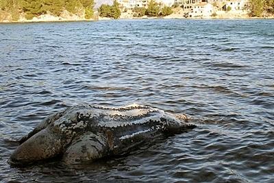 Tote Lederschildkröte im Karinsko More.