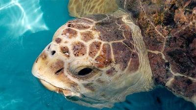 Die Unechte Karettschildkröte gehört zu den heute noch existierenden 7 Arten von Meeresschildkröten.