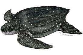 Zeichnung Lederschildkröte.
