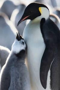 Keine neuen Schutzgebiete in der Antarktis: Erwachsener Kaiserpinguin mit Küken.