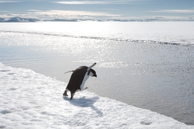 Pinguin läuft von Eisscholle und springt ins Wasser.