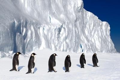Sechs Pinguine marschieren hintereinander übers Eis.