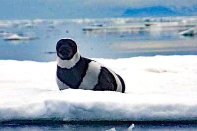 Zum Internationalen Tag der Robben: Die unverwechselbare Bandrobbe.