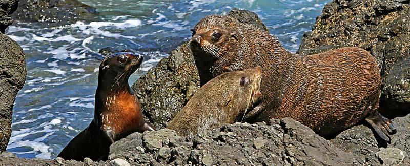 Drei Seebären liegen auf Felsen.