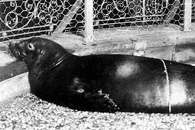Gefangene Karibische Mönchsrobbe im New Yorker Aquarium um 1910.