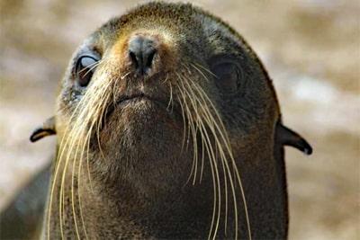 Zum Internationalen Tag der Robben: Schnurrhaare wie bei Katzen.