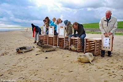 Auswilderung von gesund gepflegten Seehunden am Strand.