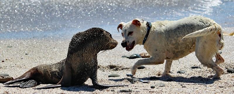 Hund greift ein Seehundbaby an.