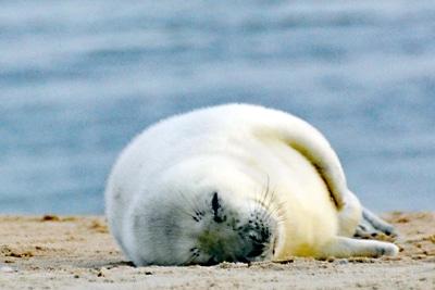 Junger Seehund ruht auf einer Sandbank.