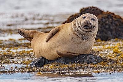 Junger Seehund liegt an der Küste und schaut.