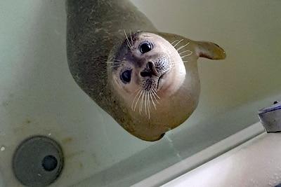 Seehundbaby in der Pflegestation.