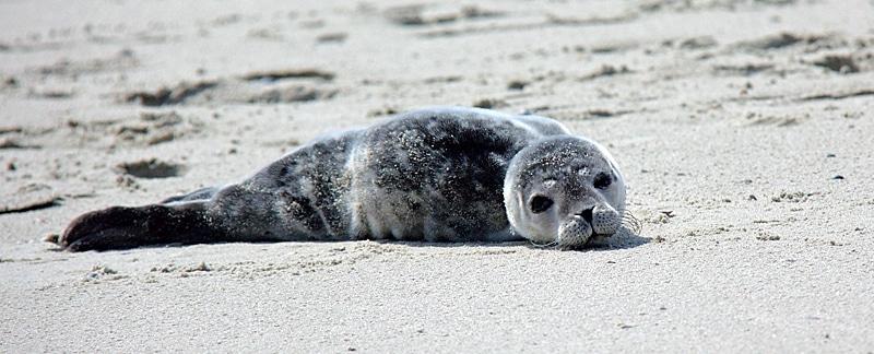 Seehund liegt am Strand.