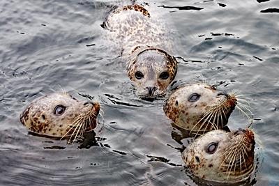 Vier Seehunde schauen aus dem Wasser.