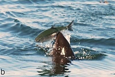 Schweinswal erbeutet einen großen Lachs.