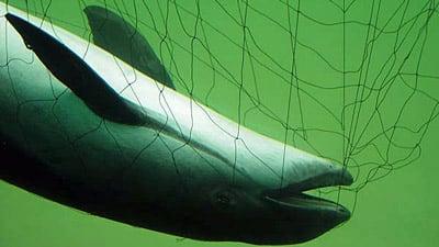 In einem Stellnetz ertrunkener Schweinswal.