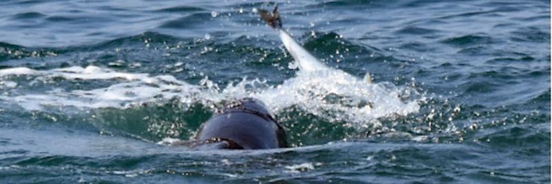 Kleiner Wal fängt große Fische