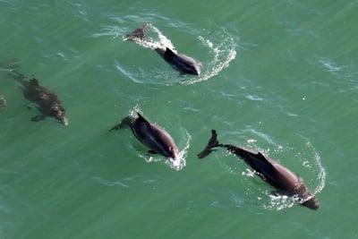 Kleine Tümmler (Schweinswale) in der Bucht von San Francisco.