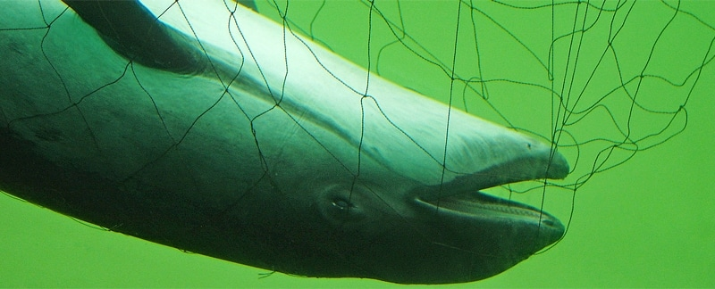 Toter Schweinswal ertrunken im Stellnetz.