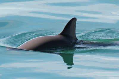 Vaquita oder Kalifornischer Schweinswal