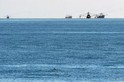 Vaquita mit Stellnetzfischerbooten.