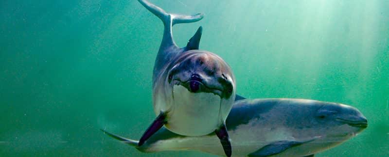 Zwei Gewöhnliche Schweinswale (Phocoena phocoena).