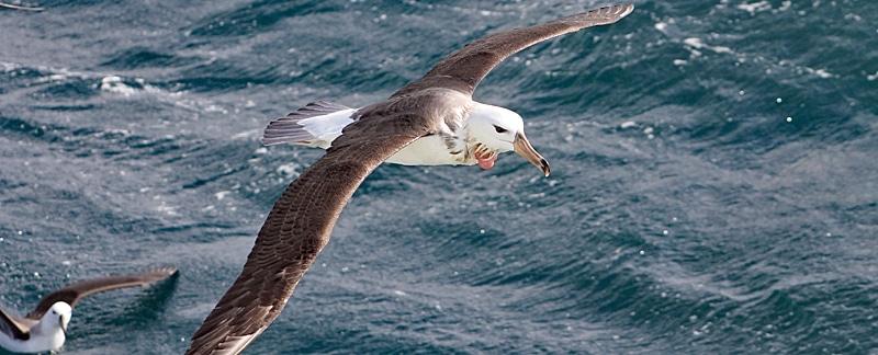 Von Langleinenfischern verletzter Albatros in der Luft.