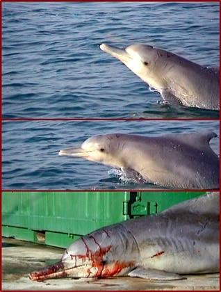 Beebop gehörte mit einer Größe von 2,10 m zu den am häufigsten in Hainetzen verfangenen Buckeldelfinen – jugendliche männliche Delfine.