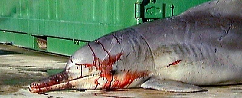 Beebop wurde ein Fall für die traurige Statistik der Delfinbeifänge in Hainetzen.