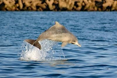 Bleifarbener Delfin springt nah am Ufer.