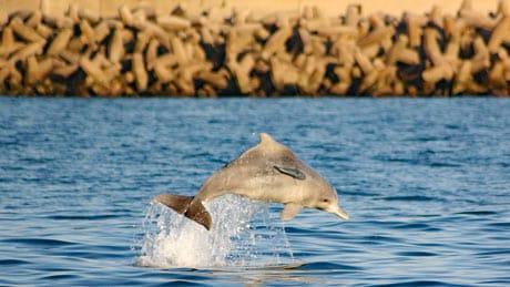 Bleifarbener Delfin springt nahe Uferbefestigung.