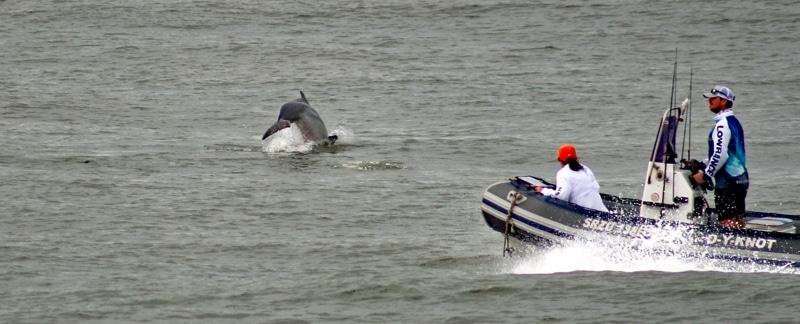 Ein Bleifarbener Delfin springt unmittelabr vor einem Zodiac