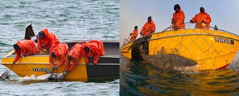 Bleifarbener Delfin und Bullenhai werden tot aus einem Hainetz geborgen.