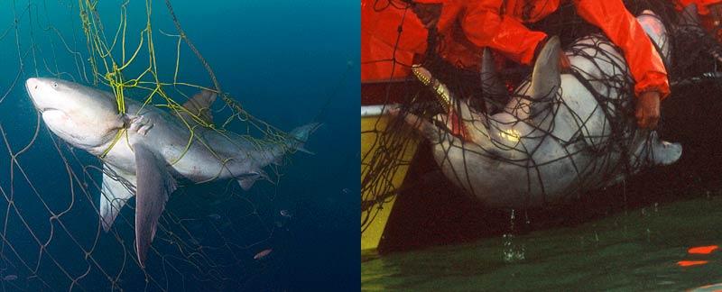 Todesfalle Hainetz: Bullenhai und Bleifarbener Delfin.
